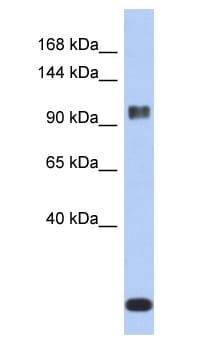 Western blot - Anti-Ataxin 7 antibody (ab90907)