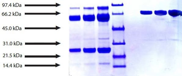 SDS-PAGE - Native human Plasmin protein (ab90928)