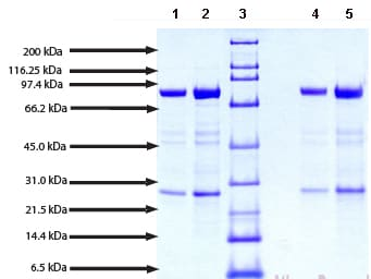 SDS-PAGE - Native human Calpain 1 protein (ab91019)