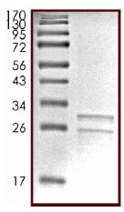SDS-PAGE - Native Cow Casein protein (ab91090)