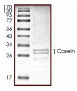 SDS-PAGE - Native Cow Casein protein (ab91092)