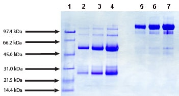 SDS-PAGE - Native Human IgG protein (ab91102)