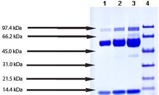 SDS-PAGE - Native human Myeloperoxidase protein (ab91116)