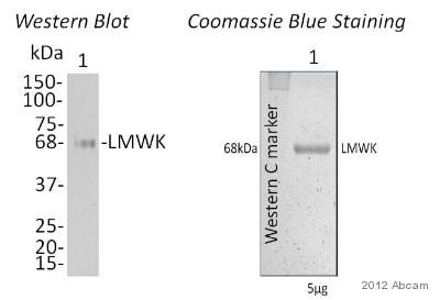 Western blot - Native Human LMW Kininogen protein (ab91118)