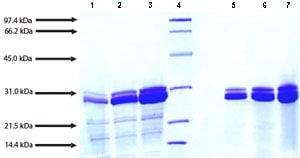 SDS-PAGE - Native human Cathepsin G protein (ab91122)
