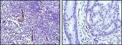 Immunohistochemistry (Formalin/PFA-fixed paraffin-embedded sections) - Anti-eNOS antibody [6H2] (ab91205)