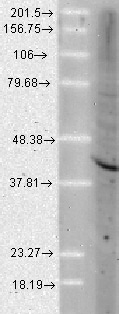 Western blot - Anti-AHA1 antibody [25F2.D9] (ab91259)