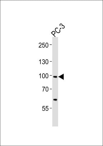 Western blot - Anti-SCAP antibody (ab91323)