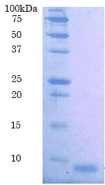 SDS-PAGE - Recombinant human EGF protein (ab91371)