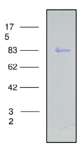 SDS-PAGE - Recombinant Cow PI 3 Kinase p85 beta protein (ab91399)