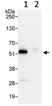 Immunoprecipitation - Anti-TRIM21/SS-A antibody (ab91423)