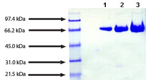 SDS-PAGE - Native Human Transferrin protein (ab91435)