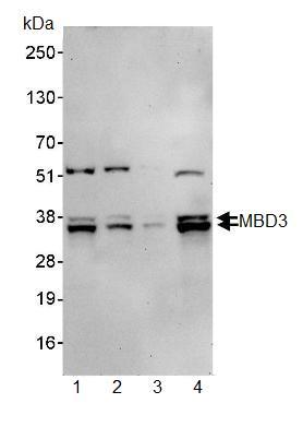 Western blot - Anti-MBD3 antibody (ab91458)