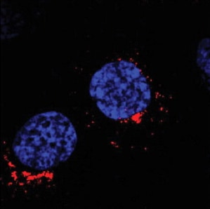Immunocytochemistry/ Immunofluorescence - Anti-GOLPH3/MIDAS antibody (ab91492)