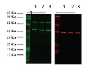 Western blot - Anti-SQSTM1 / p62 antibody (ab91526)