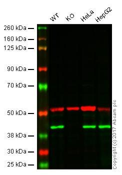 Western blot - Anti-mH2A1 antibody [14G7] (ab91528)