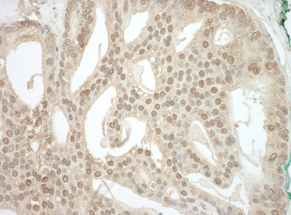 Immunohistochemistry (Formalin/PFA-fixed paraffin-embedded sections) - Anti-ADRM1/ARM-1 antibody (ab91567)