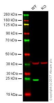 Western blot - Anti-Lysophospholipase 1/LPL-I antibody [EPR3667] (ab91606)