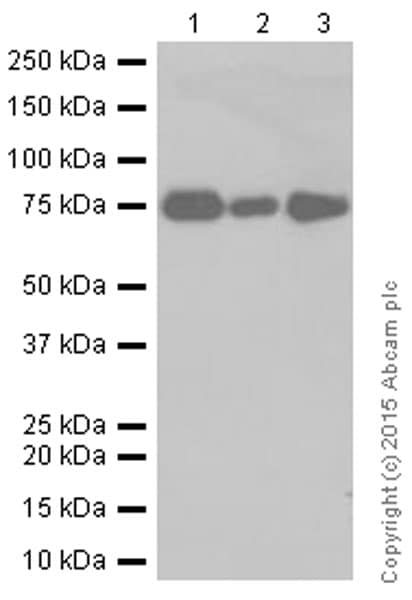 Western blot - Anti-CRTC3 antibody [EPR3440] (ab91654)
