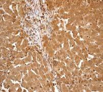 Immunohistochemistry (Formalin/PFA-fixed paraffin-embedded sections) - Anti-Apo-M antibody [EPR2904] (ab91656)