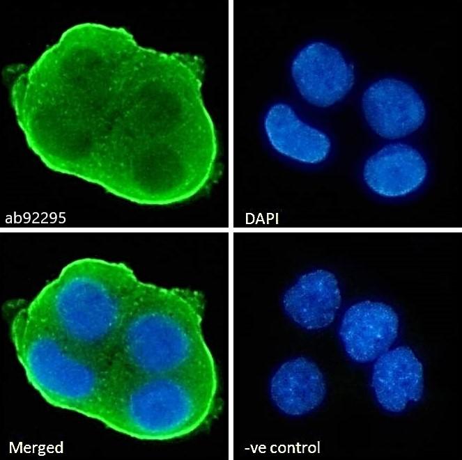 Immunocytochemistry - Anti-MATE-1 antibody (ab92295)