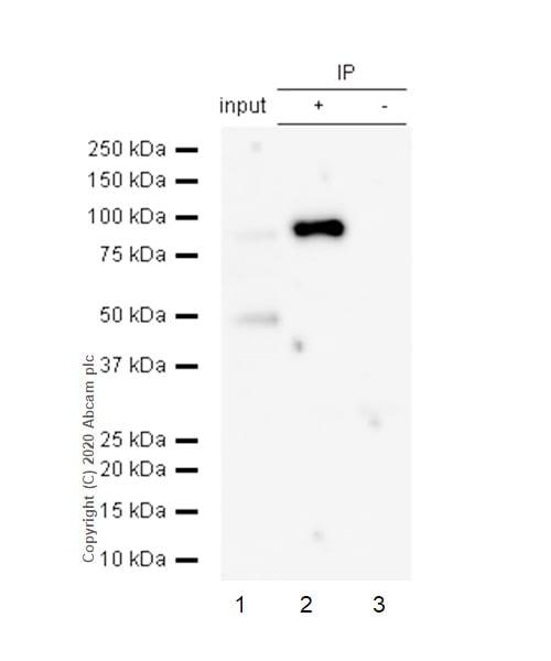 Immunoprecipitation - Anti-Bag3 antibody [EPR3515] (ab92309)