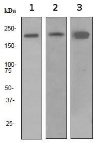 Western blot - Anti-Dnmt1 antibody [EPR3522] (ab92314)