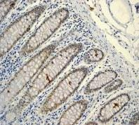 Immunohistochemistry (Formalin/PFA-fixed paraffin-embedded sections) - Anti-Lipin 1 antibody [EPR3725] (ab92316)