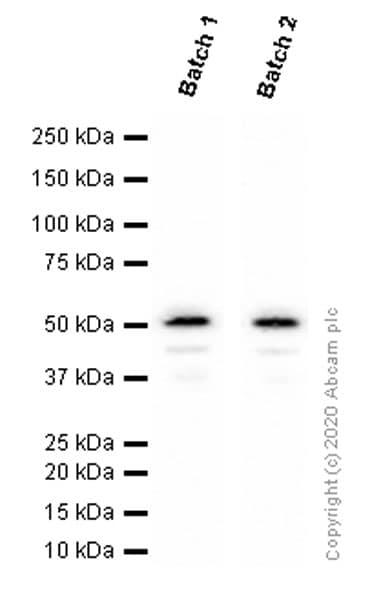 Western blot - Anti-TMPRSS2 antibody [EPR3861] (ab92323)