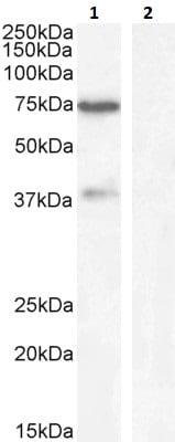 Western blot - Anti-WIZ antibody (ab92334)