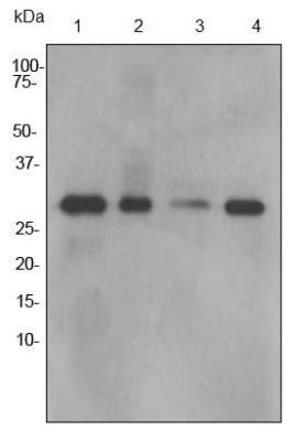 Western blot - Anti-Calpain small subunit 1 antibody [EPR3323] (ab92356)