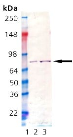 Western blot - Recombinant Chinese Hamster GRP78 BiP protein (ab92363)