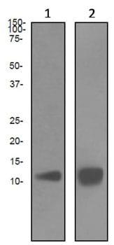 Western blot - Anti-Estrogen Inducible Protein pS2 antibody [EPR3972] (ab92377)