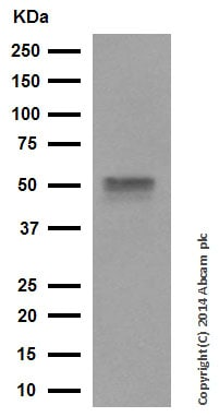 Western blot - Anti-HNF-4-alpha antibody [EPR3648] (ab92378)