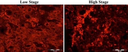 Immunohistochemistry (Frozen sections) - Anti-Rubicon/Baron antibody (ab92388)