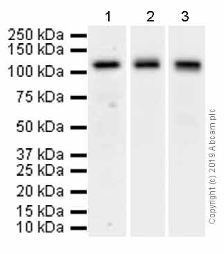 Western blot - Anti-Pumilio 2 antibody [EPR3813] (ab92390)