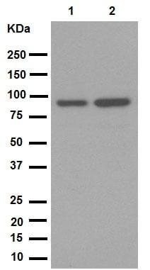 Western blot - Anti-SATB2 antibody [EPNCIR130A] (ab92446)