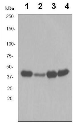 Western blot - Anti-Creatine kinase B type antibody [EPR3927] (ab92452)
