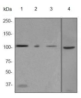 Western blot - Anti-MSH2 antibody [EPR3943] (ab92473)