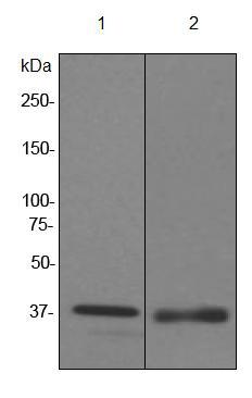 Western blot - Anti-FKBP6 antibody [EPR3674] (ab92475)