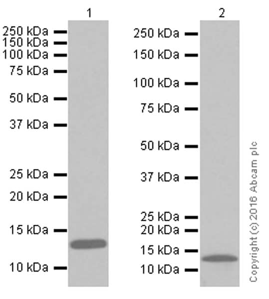 Western blot - Anti-Hemoglobin subunit alpha antibody [EPR3608] (ab92492)