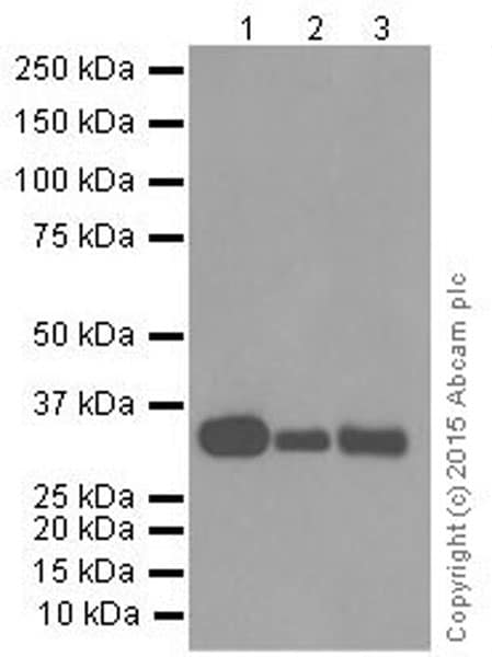 Western blot - Anti-HLA-DR antibody [EPR3692] (ab92511)