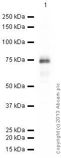 Western blot - Anti-Otx1 + Otx2 antibody [EPR3347] - ChIP Grade (ab92515)
