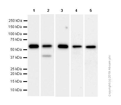 Western blot - Anti-Calreticulin antibody [EPR3924] - ER Marker (ab92516)