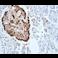 Immunohistochemistry (Formalin/PFA-fixed paraffin-embedded sections) - Anti-Glucagon antibody [EP3070] (ab92517)