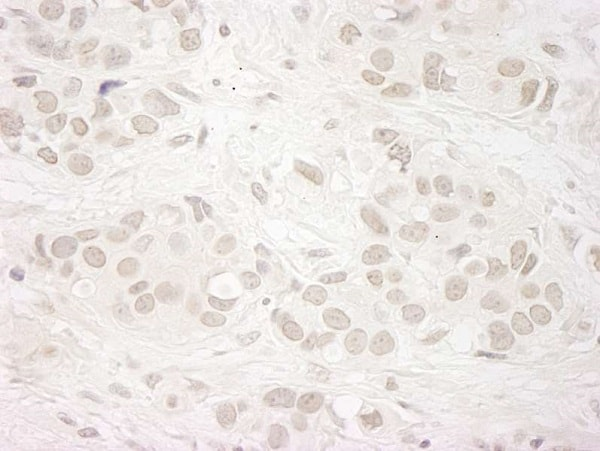 Immunohistochemistry (Formalin/PFA-fixed paraffin-embedded sections) - Anti-KDM5A / Jarid1A / RBBP2 antibody (ab92533)