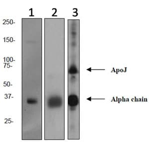 Western blot - Anti-Clusterin antibody [EPR2911] (ab92548)