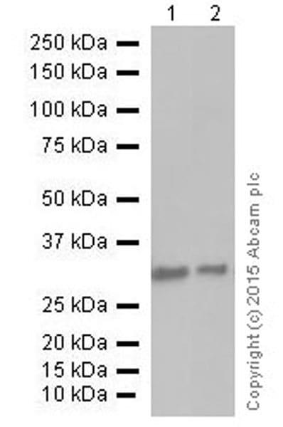 Western blot - Anti-PCNA antibody [EPR3821] (ab92552)