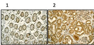 Immunohistochemistry (Formalin/PFA-fixed paraffin-embedded sections) - Anti-TCP1 alpha/CCTA antibody [EPR4081] (ab92587)