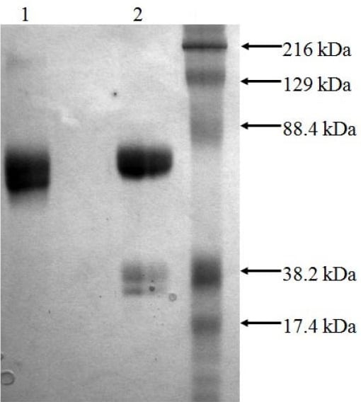SDS-PAGE - Recombinant human Tissue Plasminogen Activator protein (Active) (ab92633)
